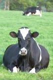 Vaca de descanso Imagem de Stock Royalty Free