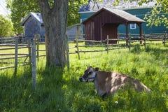 Vaca de descanso Fotografia de Stock
