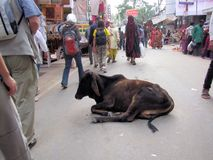 Vaca de descanso, camelo de Pushkar favoravelmente, Índia Foto de Stock Royalty Free