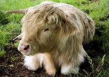 A vaca de descanso das montanhas, Escócia imagem de stock
