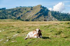 Vaca de descanso nos cumes Imagem de Stock Royalty Free