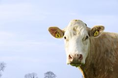 Vaca de dinheiro Fotografia de Stock Royalty Free