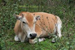 Vaca de encontro Imagem de Stock