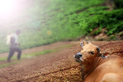 Vaca de encontro e um insecticida de pulverização do fazendeiro Foto de Stock Royalty Free
