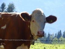 Vaca de Fleckvieh Fotos de Stock Royalty Free