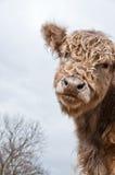 Vaca de Galloway Imagens de Stock Royalty Free