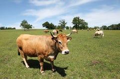 Vaca de ganado de Parthenais en pasto Fotografía de archivo libre de regalías