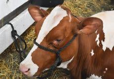 Vaca de Guernsey que descansa na feira de condado foto de stock royalty free
