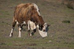 Vaca de Hereford Fotografía de archivo libre de regalías