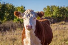 Vaca de Hereford Fotos de Stock