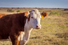 Vaca de Hereford fotografia de stock