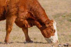 Vaca de Hereford que pasta con la cabeza abajo mientras que hace frente a los reddis derechos Imagen de archivo libre de regalías