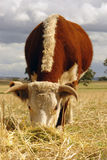 Vaca de Hereford que pasta en campo Imagen de archivo
