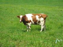 Vaca de Holstein Fotografia de Stock