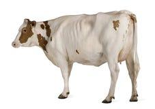Vaca de Holstein, 4 años, colocándose foto de archivo