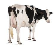Vaca de Holstein, 5 anos velha, posição Imagens de Stock