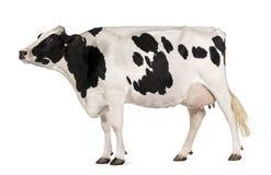 Vaca de Holstein, 5 anos velha, posição fotografia de stock royalty free