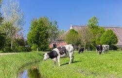 Vaca de Holstein do Dutch na água perto de Groningen Imagem de Stock