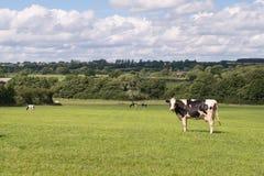 Vaca de Holstein en campo Foto de archivo libre de regalías