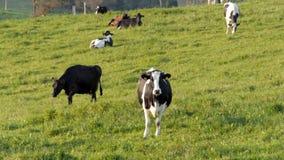 A vaca de Holstein está em um campo vídeos de arquivo