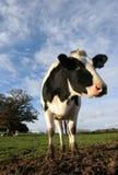Vaca de Holstein no campo Foto de Stock Royalty Free