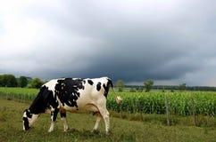 Vaca de Holstein que come la hierba mientras que la tempestad de truenos oscura asoma en parte posterior fotografía de archivo