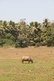 Vaca de India Imagens de Stock Royalty Free