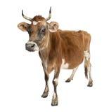 Vaca de Jersey (10 años) Foto de archivo libre de regalías