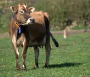 Vaca de Jersey Foto de archivo libre de regalías