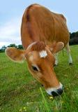 Vaca de Jersey Imágenes de archivo libres de regalías