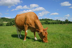 Vaca de Jersey Imagem de Stock Royalty Free