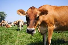 Vaca de Jersey en pasto Imagen de archivo libre de regalías