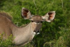Vaca de Kudu Fotografía de archivo libre de regalías