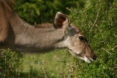Vaca de Kudu Fotos de Stock