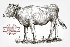 Vaca de la cría cría de animales ganado Imagenes de archivo