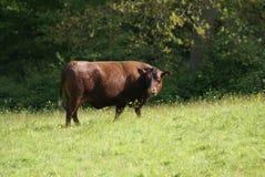 Vaca de la encuesta roja Foto de archivo