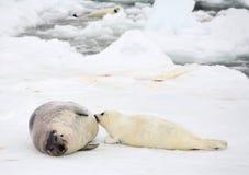 Vaca de la foca de Groenlandia de la madre y perrito recién nacido Foto de archivo