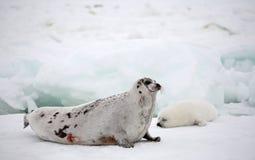 Vaca de la foca de Groenlandia y perrito recién nacido en el hielo Fotografía de archivo libre de regalías