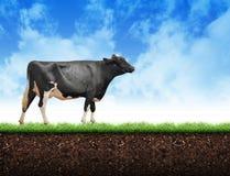 Vaca de la granja que camina en suelo de la hierba Imagen de archivo libre de regalías