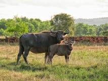 Vaca de la madre con el becerro Imágenes de archivo libres de regalías