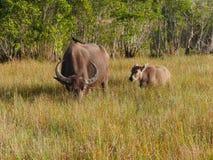 Vaca de la madre con el becerro y el pájaro Fotografía de archivo libre de regalías