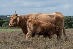 Vaca de la madre de Highand y su becerro fotos de archivo libres de regalías