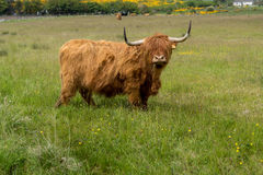 Vaca de la montaña de Escocia con los fonolocalizadores de bocinas grandes Foto de archivo