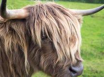Vaca de la montaña de Scittish foto de archivo