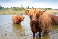 Vaca de la montaña de Scottisch Fotografía de archivo