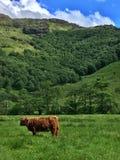 Vaca de la montaña en Glen Etive Fotografía de archivo