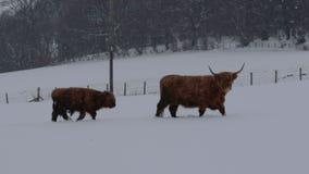 Vaca de la montaña, tauro del bos, forraje arrullan, del ganado, joven y femenino en el campo nevado dentro del parque nacional d metrajes