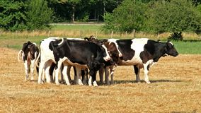 Vaca de la raza blanco y negro que se coloca en el campo de la hierba seca almacen de video