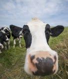 Vaca de las tierras de labrantío Fotos de archivo