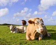 Vaca de las tierras de labrantío Fotografía de archivo